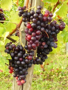vines-58109