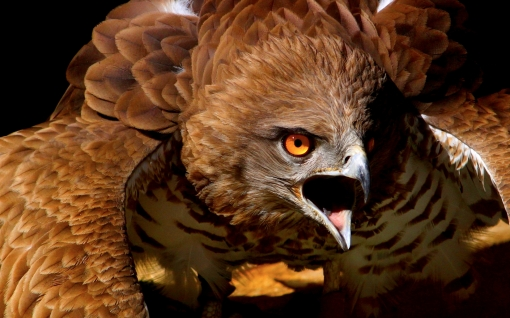 Red-Tailed-Hawk-Wallpaper6